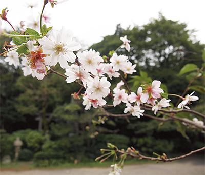 冬桜が開花