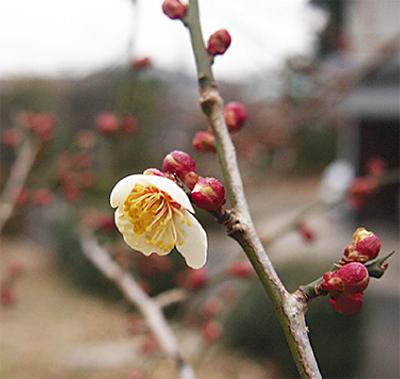 梅ようやく開花