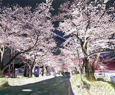 千本の桜がお出迎え