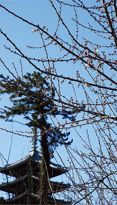 細山地区で梅が開花