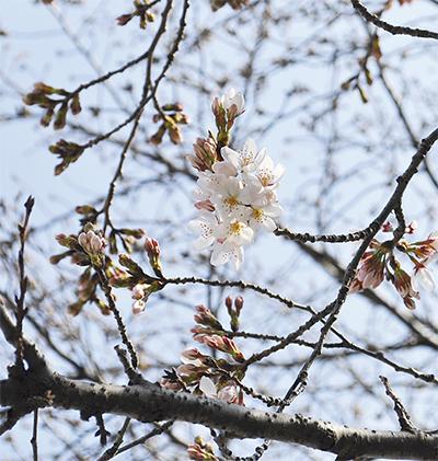 麻生川の桜が開花