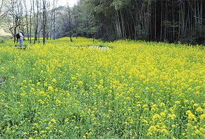 1万本の「黄色い絨毯」
