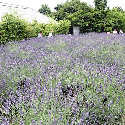 一面に広がる紫の絨毯