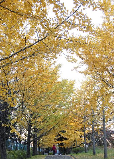 虹ヶ丘公園の銀杏色づく