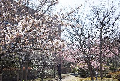 玉縄桜と河津桜が競演