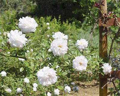 230種のバラを公開