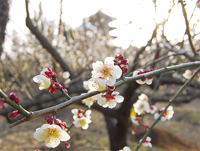 細山で梅が開花