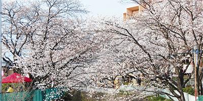 あす、麻生川桜まつり