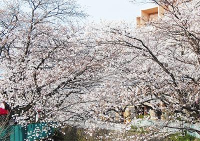 桜まつりで区の魅力発信