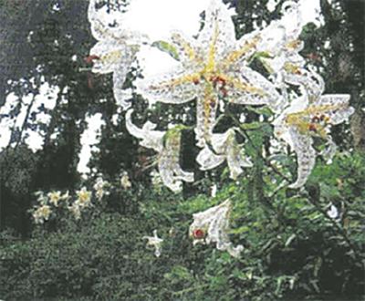 区の花「ヤマユリ」観賞会
