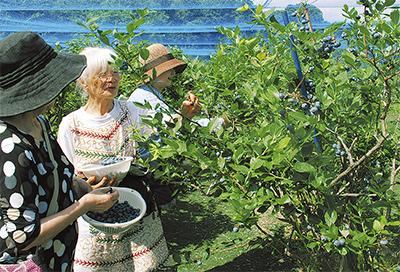 ブルーベリー 収穫始まる
