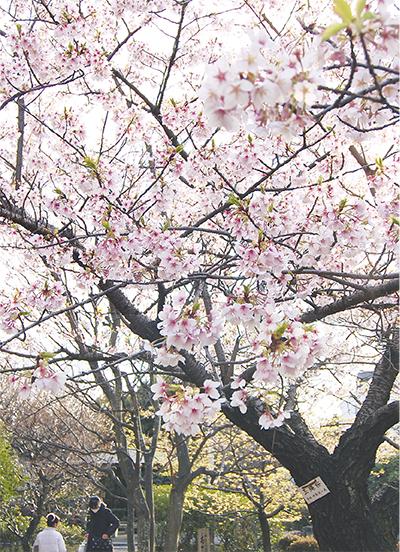 玉縄桜が見頃