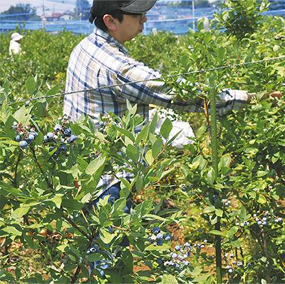 ブルーべリー摘み取り開始