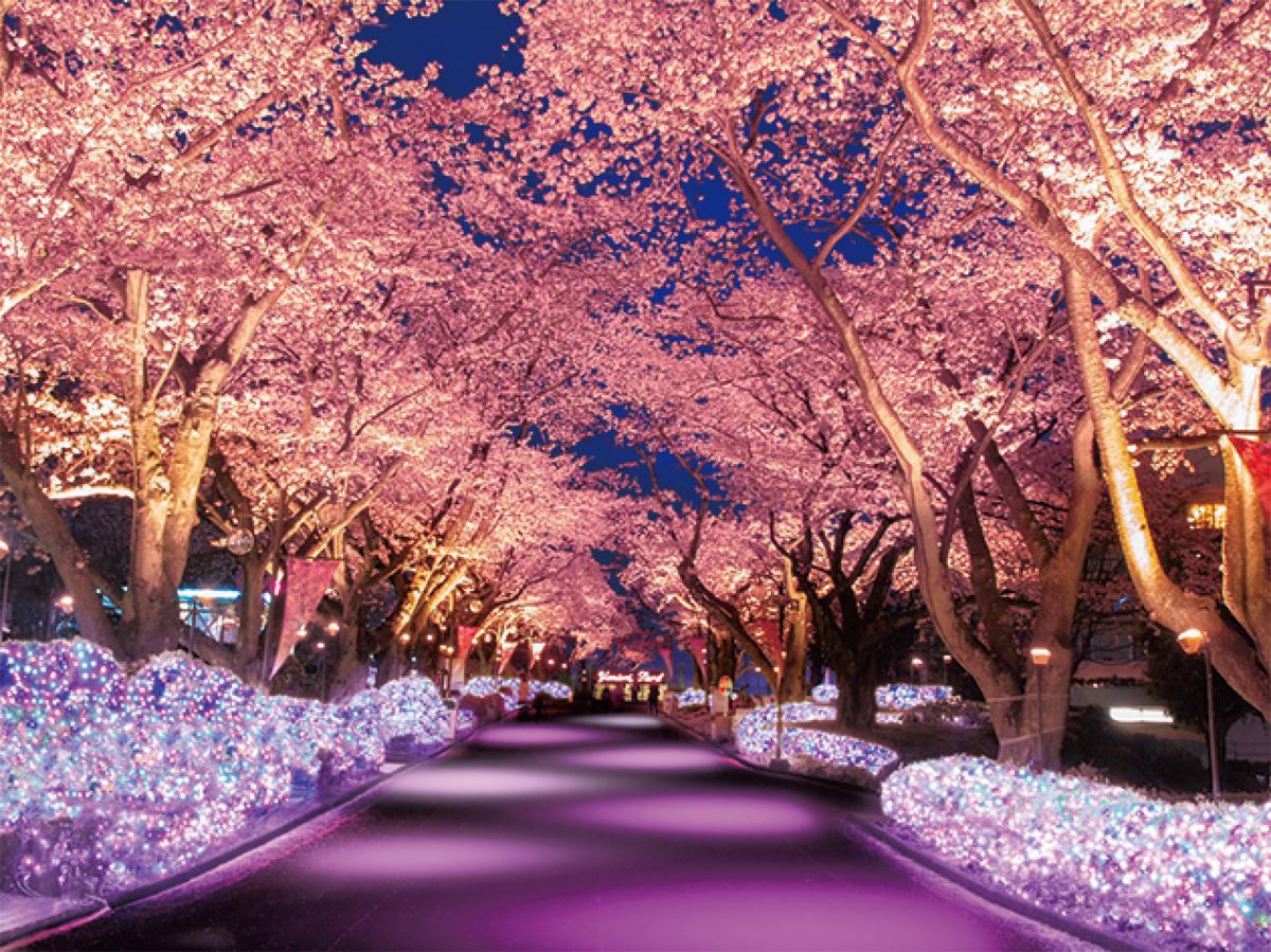 夜桜イルミ、21日から