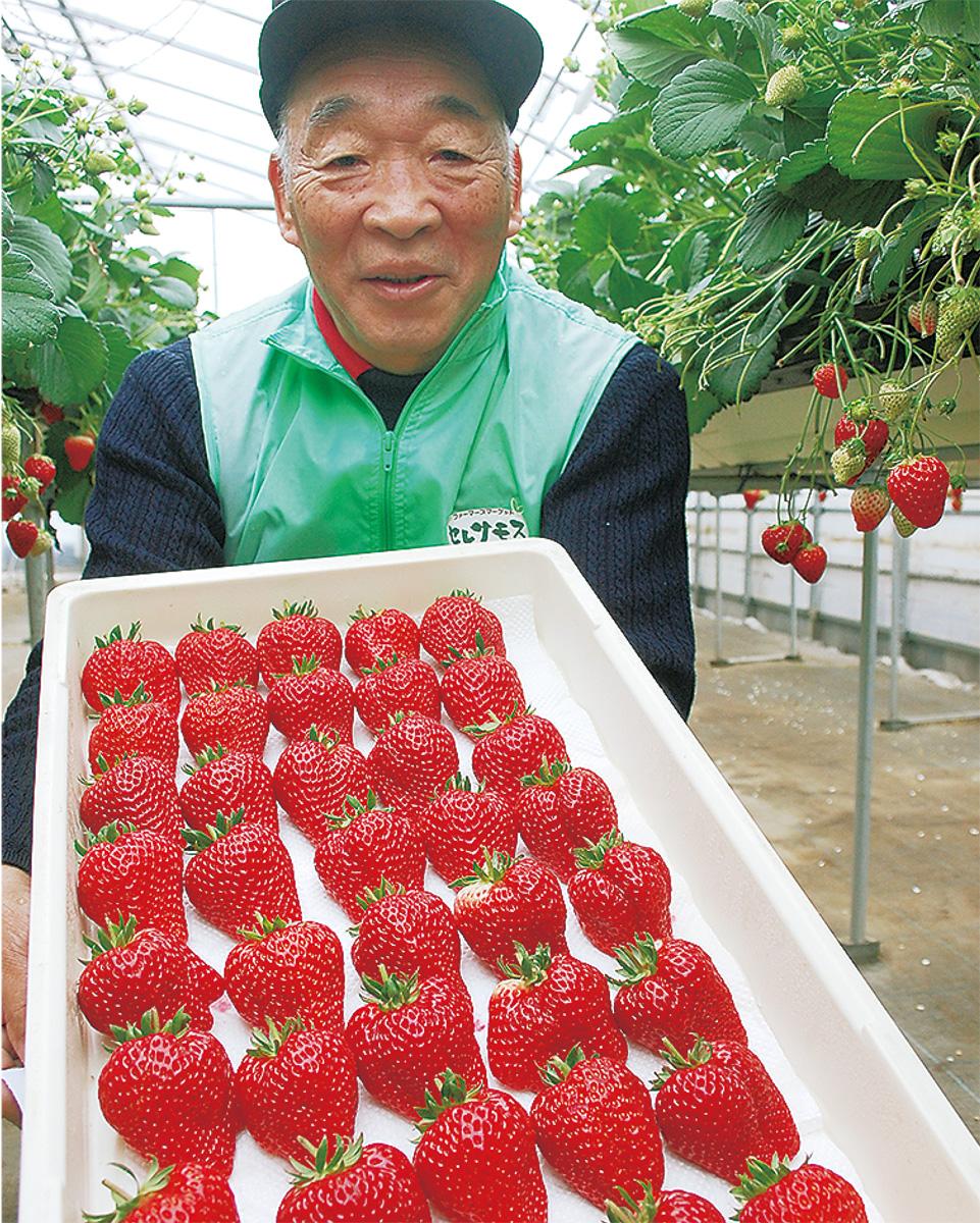 大粒イチゴ 順調に収穫