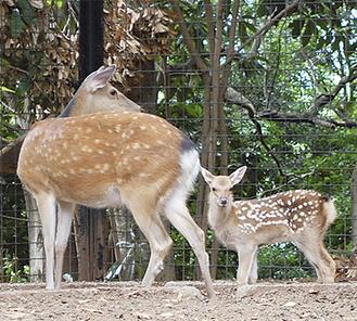 先月生まれたホンシュウジカの赤ちゃん