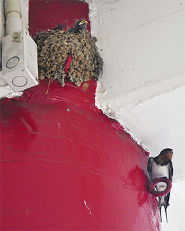 巣の中で口を開けるひな(上)と親とみられるツバメ