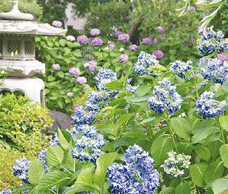 境内には色とりどりのアジサイが咲く(6月10日撮影)