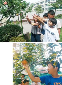 実った伝桃を指さす子ども(上)と長十郎梨を収穫する児童