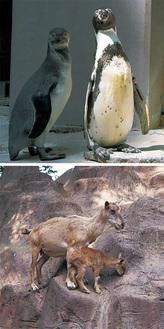 フンボルトペンギン(上)とマーコール