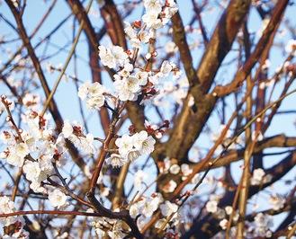 御幸公園の梅の花(2月13日撮影)
