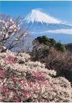 「梅と富士」