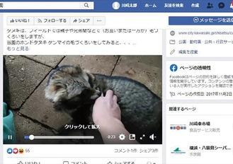 タヌキの毛づくろい動画(動物園FBより)