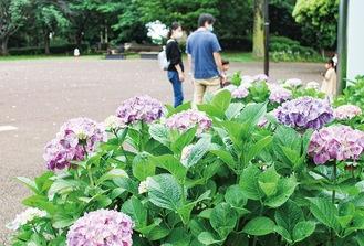慰霊塔広場のアジサイ=5月22日撮影