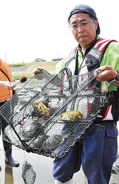 多摩川で外来種カメ増加