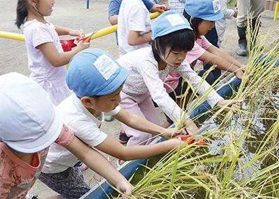 大事に育てた稲収穫