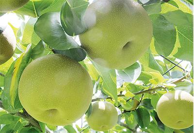 「長十郎梨」収穫して味わおう