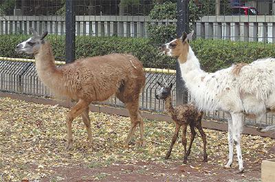 ラマの赤ちゃんが誕生