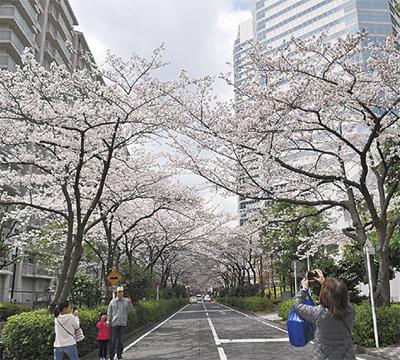 足を止め、満開の桜鑑賞