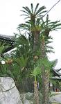 樹齢300年超の立派なソテツ