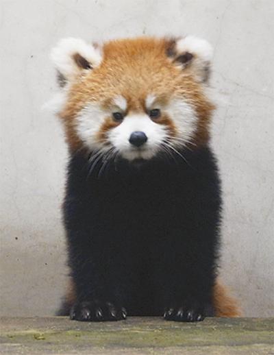 レッサーパンダの愛称募集