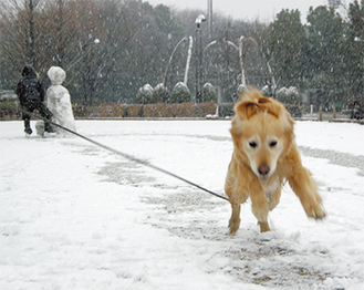 横山公園に散歩に訪れていた犬は、寒さもなんのその。まさに「♪犬は喜び庭駆け回る」状態になっていた。同所では雪だるまが5体ほど佇んでおり、各々味のある表情を見せていた。