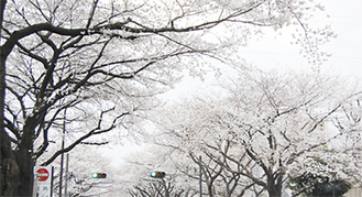 美しく咲き誇る桜姿(写真は23日時点)