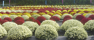 農園では色とりどりに咲き誇るざる菊が観賞できる