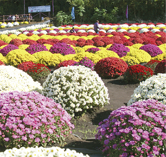 昨年の様子。南足柄市のざる菊に感銘を受けた藤曲会長が、仲間を募り栽培を始めたのがきっかけ