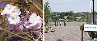 (右)上溝さくら公園(左)新種の桜「はるか」=多摩森林科学園提供