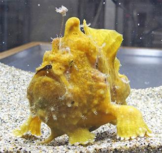 企画展の目玉、釣りをする魚「カエルアンコウ」