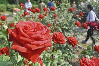見頃を迎えるバラの花々=21日、相模原北公園