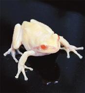 幸運呼ぶ「白色のカエル」
