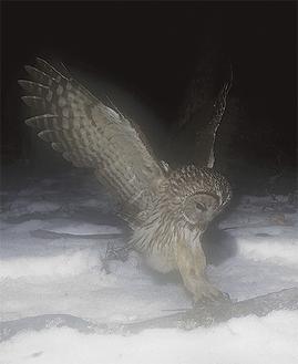 フクロウがネズミを捕獲する瞬間をとらえた写真 八ヶ岳自然クラブ=提供