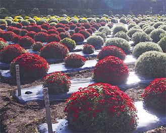 色鮮やかなざる菊=10月27日撮影