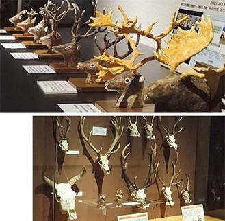 展示予定のシカの模型と頭部標本の一部