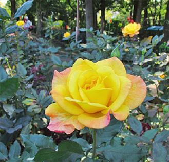 北公園に咲くバラ