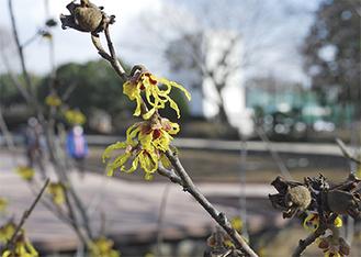 不思議な形の花が目を引く「マンサク」=2月17日撮影