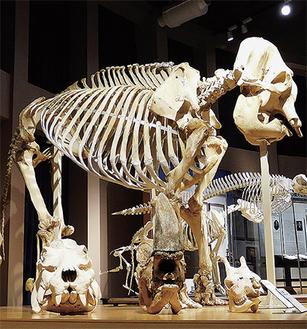 使用するゾウの骨格標本