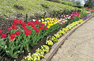 約1万3千個の球根の花が見頃を迎える園内=写真は昨年